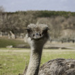Young Ostrich — Stock Photo