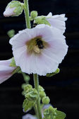 Bumblebee on a Hollyhock Flower — Stock Photo