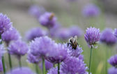 Bumblebee on Chive Flower — Stock Photo