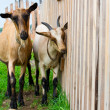 Stock Photo: Couple of goats near wooden fence