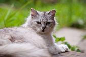 белый серый кот — Стоковое фото