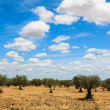 Stock Photo: Olive trees plantation landscape