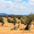 Olive trees plantation landscape — Stock Photo #29441047