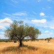 Olive trees plantation landscape — Stock Photo #29443581