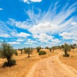 Olive trees plantation landscape — Stock Photo