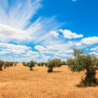 Olive trees plantation landscape — Stock Photo #29448061