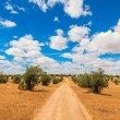 Olive trees plantation landscape — Stock Photo #29450777