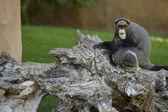 Small Gorilla — Stock Photo