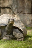 Galapagos Giant Turtle — Stock Photo
