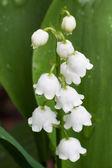 White Dew Bells — Stock Photo