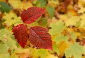 Leaves of Three — Stock Photo