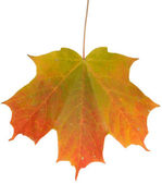 Changing Maple Leaf — Stock Photo