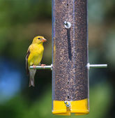 Feeding Goldfinch — Stock Photo