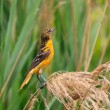 Stock Photo: Oriole in Grasslands