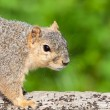 Suspicious squirrel — Stock Photo
