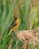 Oriole in Grasslands — Stock Photo