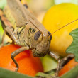 Stock Photo: Grassphopper's Snack