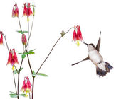 Hummingbird and a Red Columbine — Zdjęcie stockowe