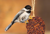Pecking Chickadee — Stock Photo
