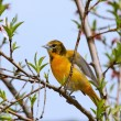 Stock Photo: Oriole Orange