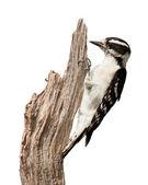 Pecking Woodpecker — Stock Photo