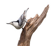 Blue Nuthatch — Stock Photo