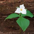 Постер, плакат: Large Flowered Trillium