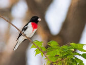 Rose breasted Grosbeak — Stock Photo