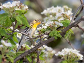 Blackburnian warbler and apple blossoms — Stock Photo