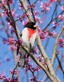 Perched rose-breasted grosbeak — Stock Photo