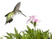 Hummingbird and Dianthus — Stock Photo