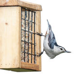 White Breasted Nuthatch — Stock Photo