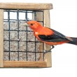 Stock Photo: Scarlet Plumage