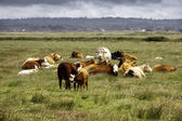 Herd of cows resting in a meadow — Stock Photo