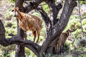 Wild brown goat in a tree — Stock Photo