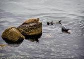 Seals in Monterey harbor, California  — Stock Photo