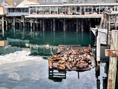 Sea lions in Monterey harbor, California — Stock Photo