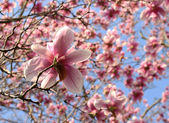 Magnolia tree in springtime — Stock Photo
