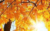 Feuilles jaunes, d'érables à l'automne au soleil — Photo