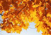 Rami di foglie gialle, acero in autunno al sole — Foto Stock