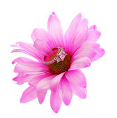 Diamond engagement ring in hot pink chamomile flower isolated — Stock Photo