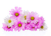 Pink chrysanthemum flowers isolated on white, bouquet — Stock Photo