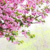Beautiful cherry blossom in springtime, sakura — Stock Photo