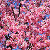 Sakura. cherry blossom in springtime, beautiful pink flowers — Stock Photo