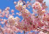 Sakura. wunderschöne kirschblüte im frühling über blauer himmel — Stockfoto
