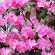 Pink Rhododendron flowers, Azalea blooming, background — Stock Photo