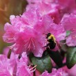 Pink Rhododendron flower and bee, Azalea blooming in the garden — Stock Photo