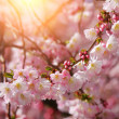 Sakura. beautiful cherry blossom in springtime over blue sky — Stockfoto