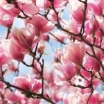 Magnolia tree blossom in springtime — Stock Photo