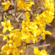 Yellow flowers. beautiful forsythia bush bloom in springtime — Stock Photo